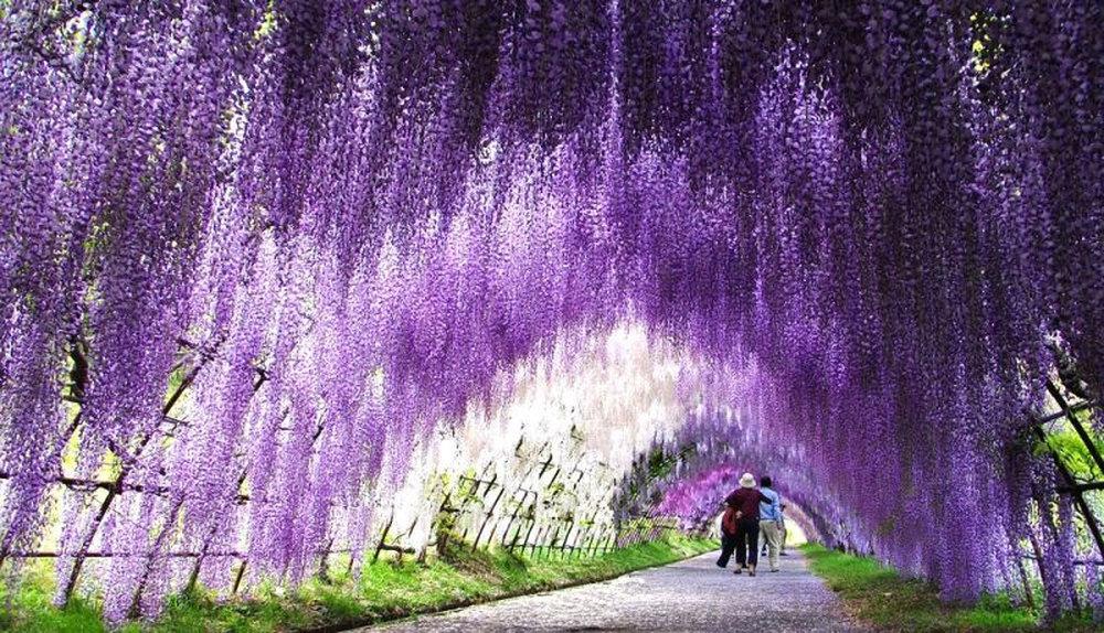 Giappone: cosa vedere  Kawachi Fuji (tunnel glicine wisteria)